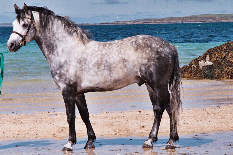 Connemara Stallions